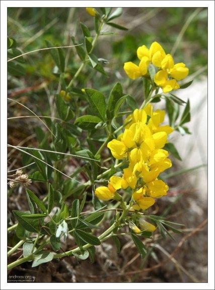 Цветы Золотого горошка, он же - Термопсис.