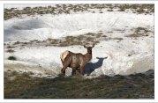 Самка оленя American Elk пришла на водопой.