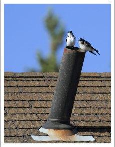 Древесная американская ласточка - Tree swallow.