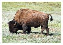 Американский бизон во всей своей красе.