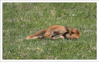 Самка бизона вынашивает одного теленка около 9 месяцев.