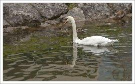 Лебеди обитают в Халльштаттском озере, начиная с середины 19-го века.