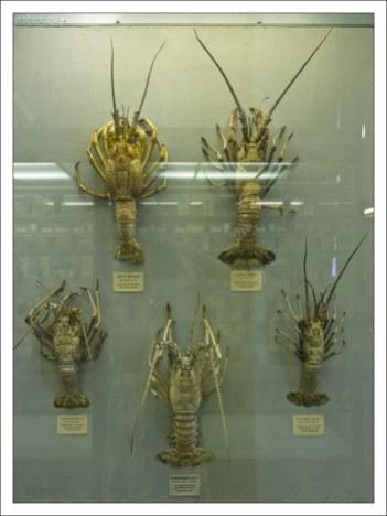 Лангусты в Зоологическом музее.