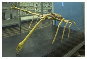Длиннолапый японский краб. Встречается на больших глубинах у берегов Японии. Достигает трех метров в размахе клешней.