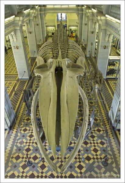 Скелет Синего кита. Вид со второго этажа Зоологического музея.