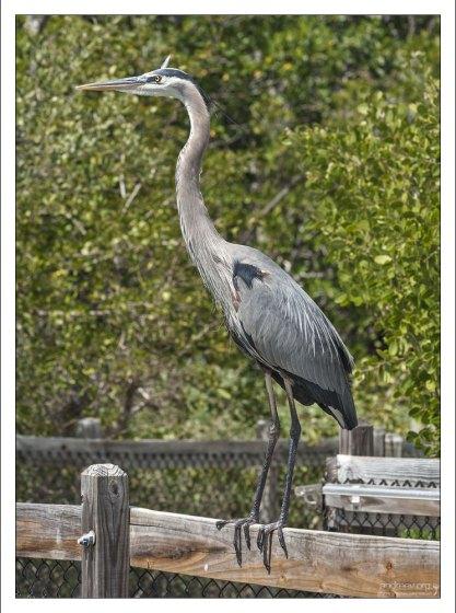 Большая голубая цапля - крупная птица семейства цаплевых, распространённая в Новом Свете.