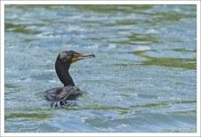 Баклан охотится на рыбу, которая следует за каяком.
