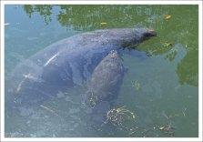 Мать-ламантинша долго кормит малыша молоком, хотя уже через три недели он может есть водоросли.