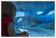 Во флоридском аквариуме Mote живут два брата ламатина: Hugh и Buffett.