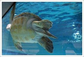 Зеленая морская черепаха Harry.