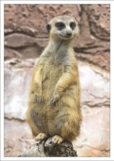 Сурикат (Meerkat) из семейства мангустовых.