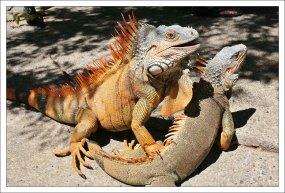 Довольные самец и самка зеленой игуаны.