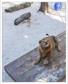 Местная знаменитость - лев Lawrence, спасенный из цирка-шапито.