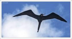 Самка фрегата - типичный представитель тропической фауны.