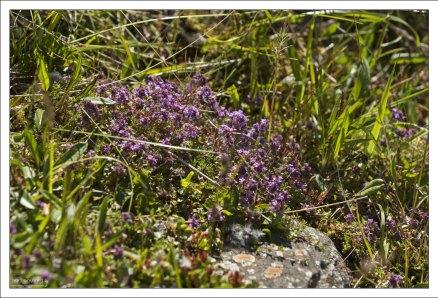 Арктический тмин (Thymus praecox).