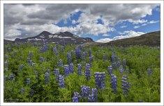Исландский вид люпинов Nootka lupine.