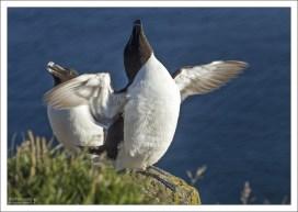 Гагарки образуют большие птичьи базары вместе с другими представителями семейства чистиковых.