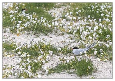 Гнездовье полярных крачек.