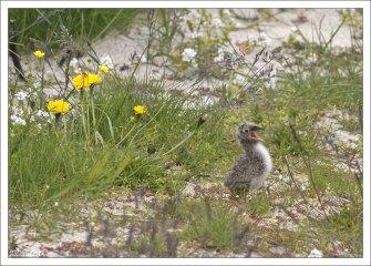 Птенцы полярной крачки покрыты пухом, а уже через 20 дней после рождения становятся на крыло.