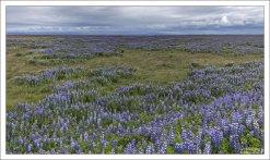 Огромные люпиновые поля на северо-востоке Исландии.