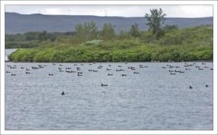 Флотилия уток на озере.