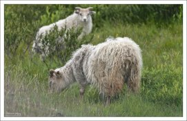Исландская овца считается одной из древнейших сохранившихся чистых пород.