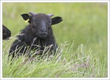В среднем у исландской овцы рождается два ягненка.