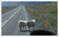 Овцы не хотят сходить с дороги.
