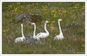 Группа Тундровых лебедей (лат. Cygnus columbianus).