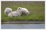 Белая овца с двумя ягнятами на свободном выпасе.