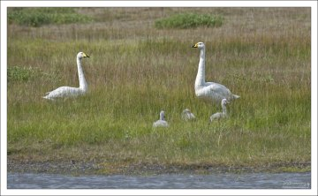 Тундровые лебедята развиваются быстро и поднимаются на крыло через месяц.