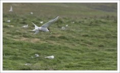 Полярная крачка — единственная птица, мигрирующая сезонно из Арктики в Антарктику. При этом за год она преодолевает расстояние до рекордных 70 тысяч километров. Перелёт в одну сторону длится около месяца.