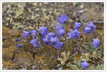 Колокольчик круглолистный (Harebell) - многолетнее лекарственное растение.