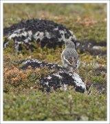 Самка пуночки (лат. Plectrophenax nivalis). Птица из семейства подорожниковых, гнездящаяся в области тундр Старого и Нового Света.
