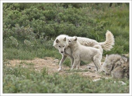 Взрослые собаки проводят свои дни на цепи (длинные, и выглядит так, что не сильно их беспокоят), щенки - гуляют где хотят.