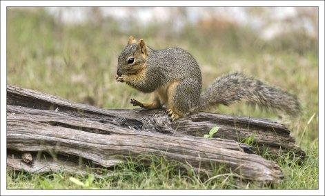 Каролинская серая белка - Eastern gray squirrel (Sciurus carolinensis), один из самых распространенных грызунов Техаса.