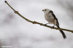 Stjärtmes / Long-tailed Tit