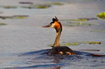 Skäggdopping / Great Crested Grebe