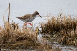 Rödbena / Common Redshank