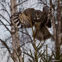 Lappuggla / Great Grey Owl