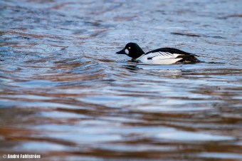 Knipa (hane) / Common Goldeneye (male)