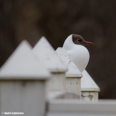 Skrattmås / Black-headed Gull