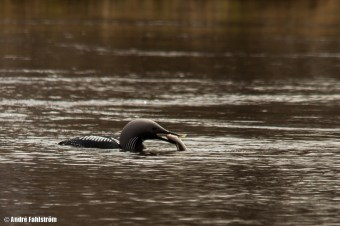 Storlom / Black-throated Diver
