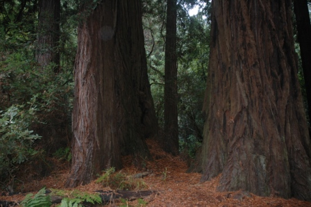 Muir Woods National Monument California setting of Endor Star Wars Return of the Jedi