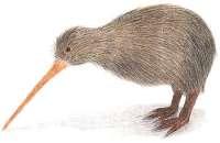 pasarea-kiwi-noua-zeelanda
