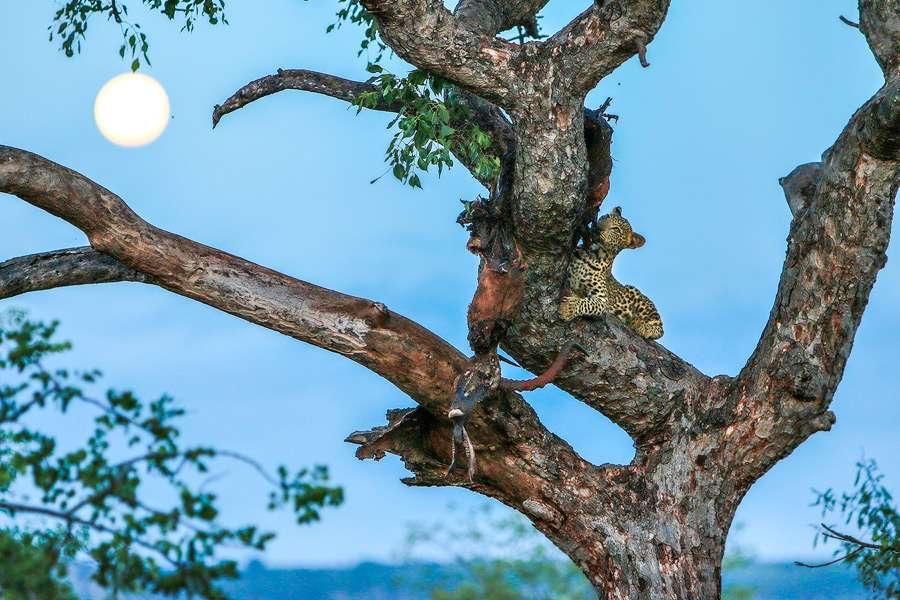 Moon-Leopard-www