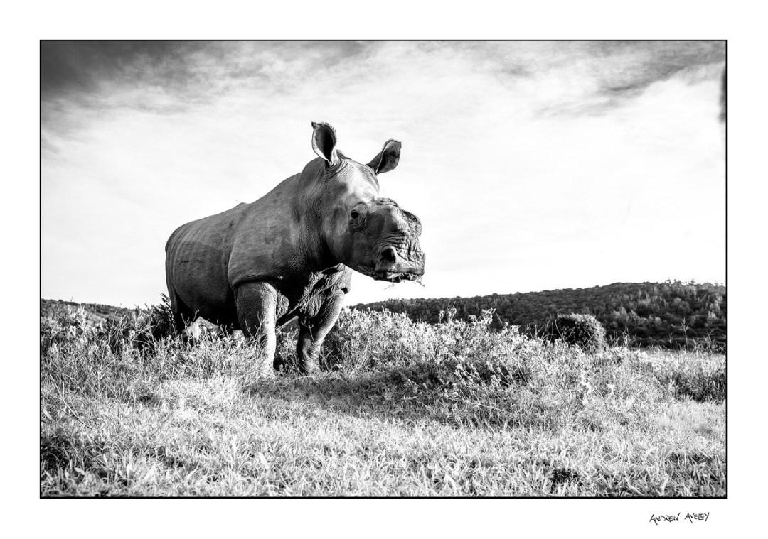 Thandi the rhino in monochrome