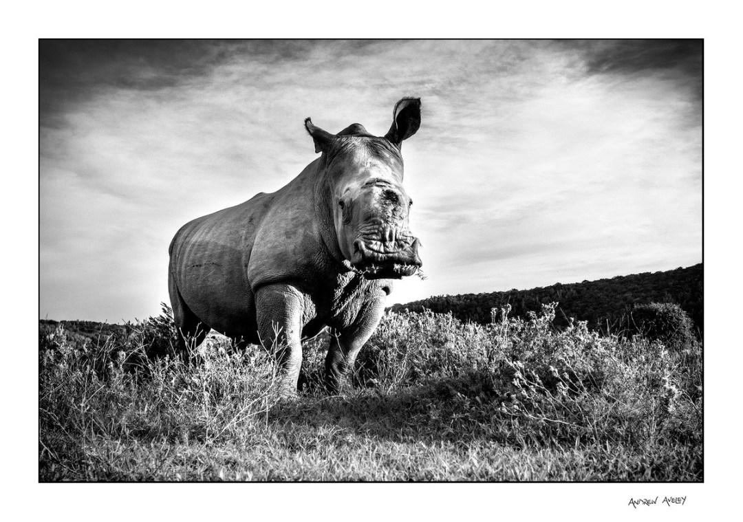 Low angle of Thandi the rhino