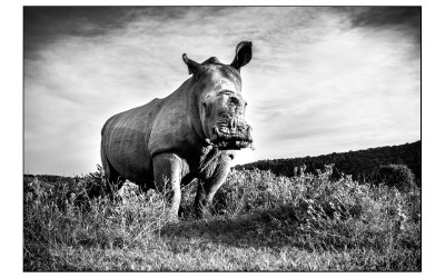 The Survivor -Thandi the rhino
