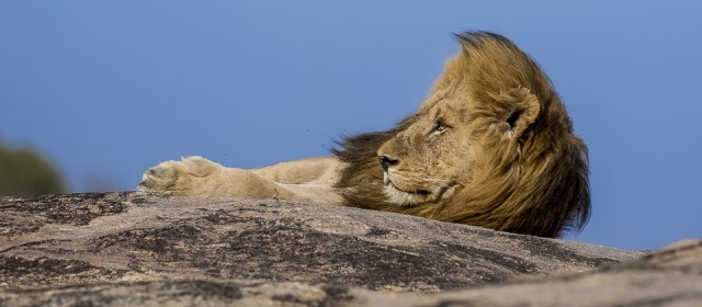 An wildlife photographer image of African lion laying on a rocky outcrop in the greater kruger national park under blue sky